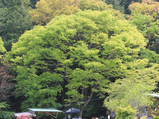 峯自然園のみどころ/ケヤキの大木